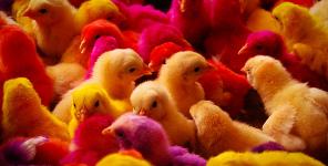 Chov kuřat